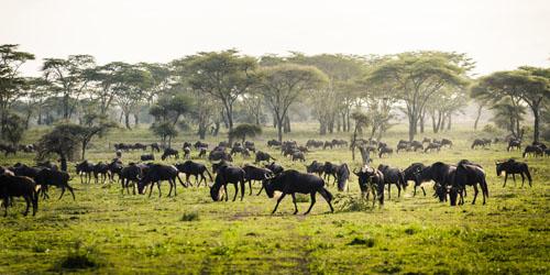 Die Große Tierwanderung durch die Serengeti