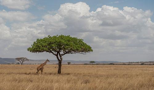 Giraffe unter Schirmakazie in der Serengeti