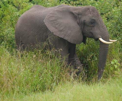 Elefant im Queen Elizabeth National Park