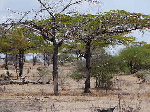 Vegetation im Selous Game Reserve