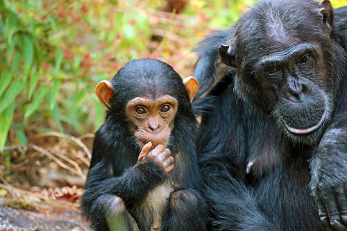 Schimpansen im Mahale-Mountains-Nationalpark