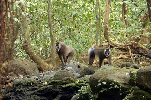 Afrikas geheimnisvolle Welten: Die Insel der Affen – Motuku und ein Rivale zeigen Dominanzverhalten © Tania Escobar/Doclight GmbH